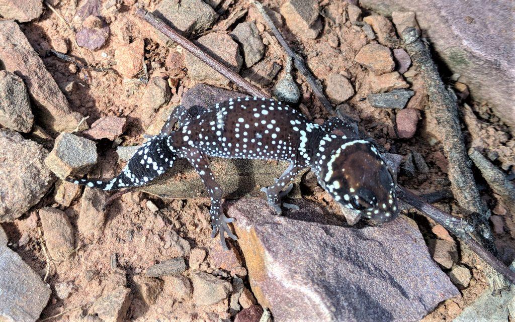 Barking Gecko near Canowindra NSW