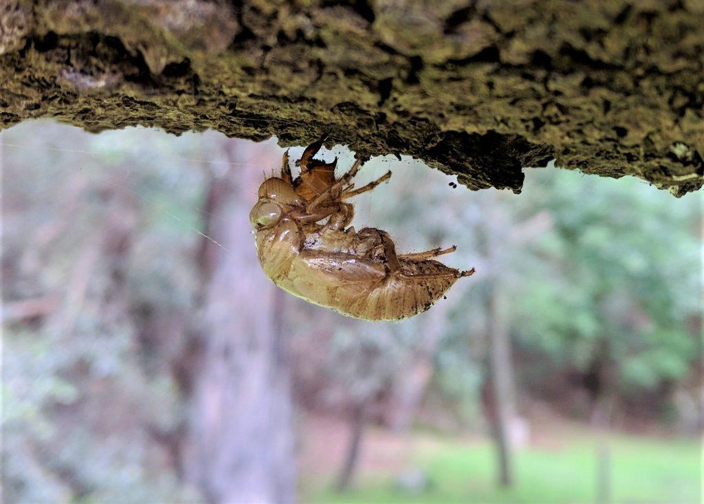 Cicada Exoskeleton under tree branch